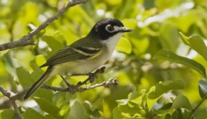 Black-capped Vireo - a bird with white breast and black head with white mask around eyes - perched on branch with green leaves in background