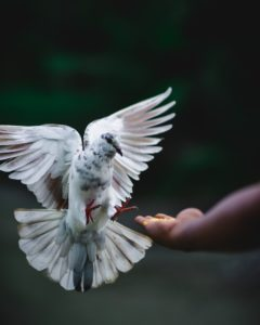 white and grey rock dove flying toward out-stretched hand